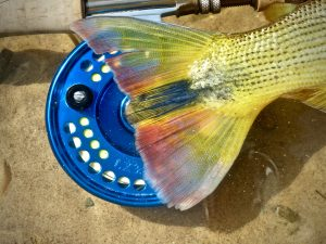 Golden Dorado Islander Reel