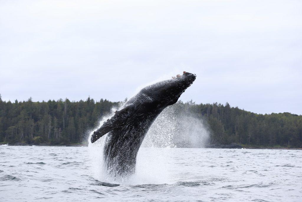 Breaching Humpback Haida Gwaii